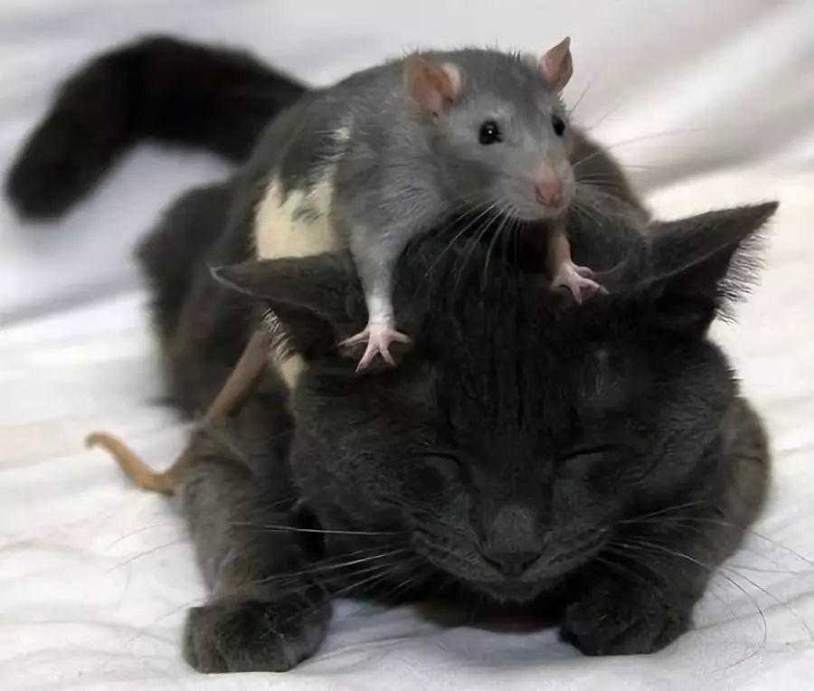 有些喵为何不抓老鼠了?