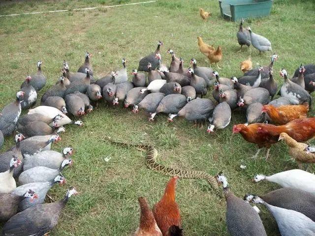 火鸡为何围着死猫转圈儿?