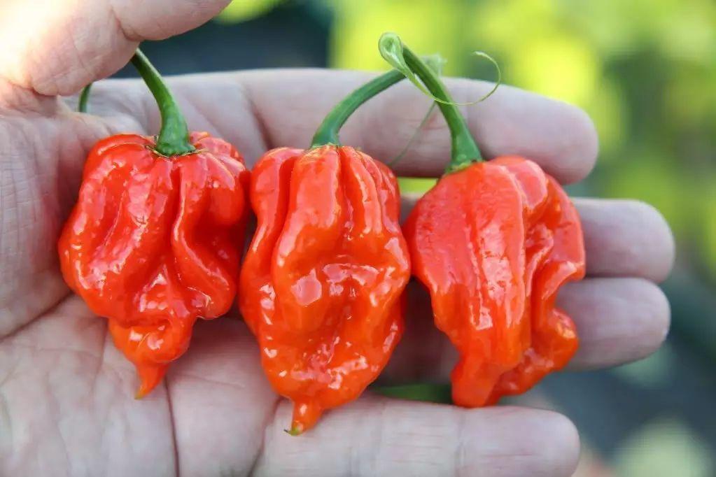 吃辣自虐:辣椒的魅力究竟何在?